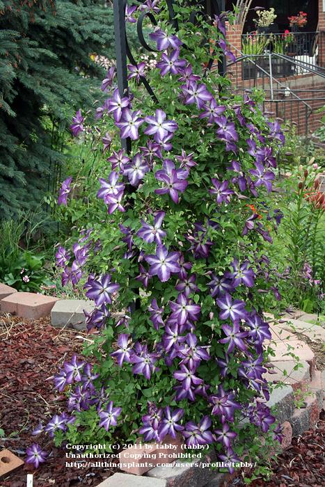 Photo of Clematis (Clematis viticella 'Venosa Violacea') uploaded by tabby