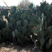 Location: Northeastern, TexasDate: October 7, 2011Texas prickly pear often grows yo 5 ft. tall