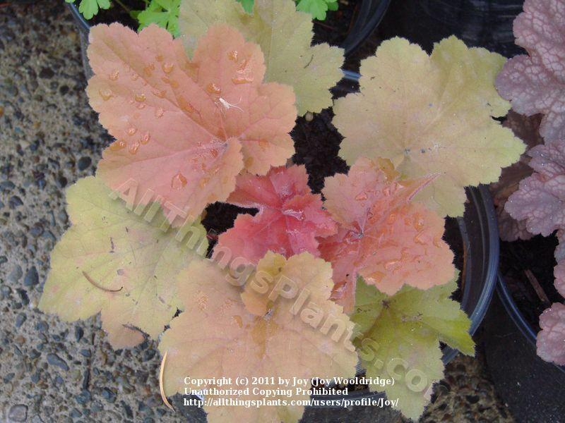 Photo of Coral Bells (Heuchera 'Southern Comfort') uploaded by Joy