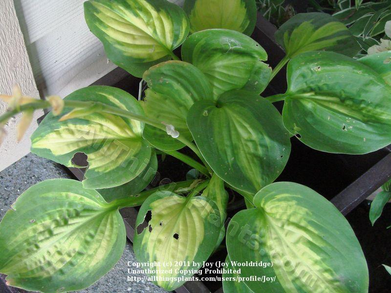 Photo of Hosta (Hosta 'Cathedral Windows') uploaded by Joy