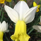 Location: In my garden, Cottage-in-the-Meadow Gardens, South Amana, IADate: 2009-04-16