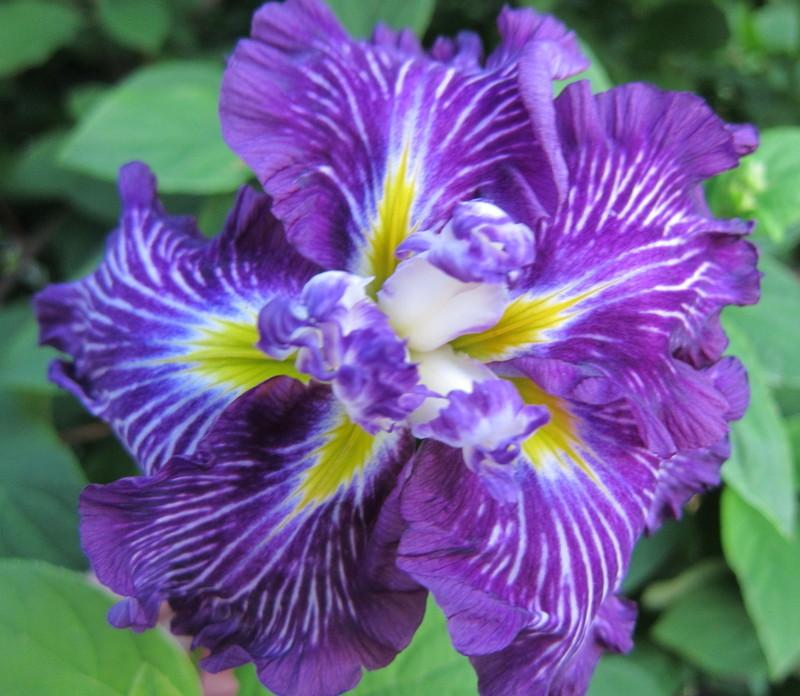 Photo of Japanese Iris (Iris ensata 'Geisha Obi') uploaded by PollyK