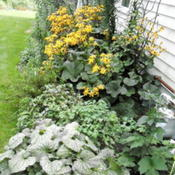 Location: Part Shade Pittsford NYDate: 2011-08-29I use Jack Frost as a border plant