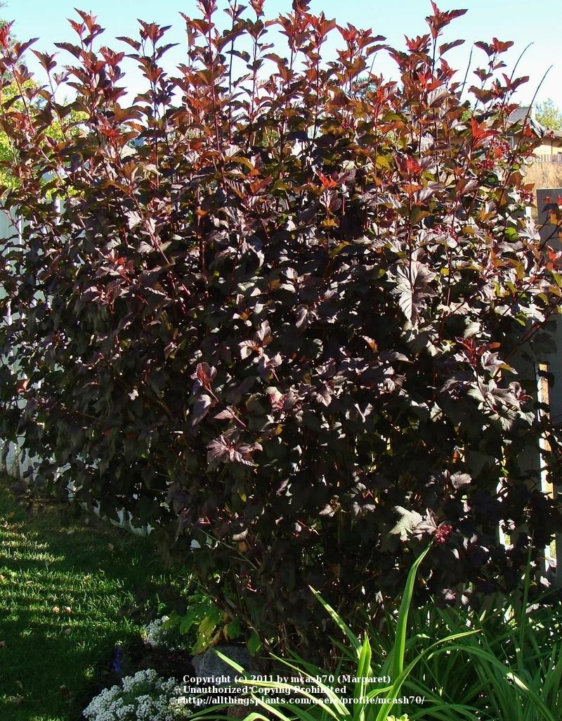 photo of the entire plant of ninebark physocarpus opulifolius diabolo posted by mcash70. Black Bedroom Furniture Sets. Home Design Ideas