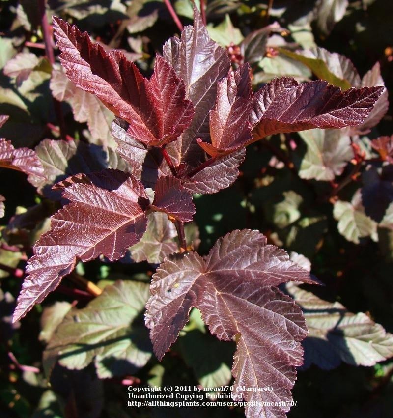 Photo of Eastern Ninebark (Physocarpus opulifolius Diabolo®) uploaded by mcash70