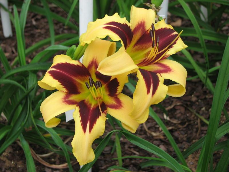 Photo of Daylily (Hemerocallis 'Wild Horses') uploaded by tink3472
