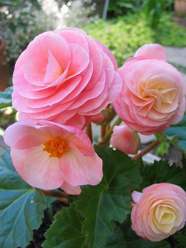 Photo of Hybrid Tuberous Begonia (Begonia x tuberhybrida) uploaded by Calif_Sue