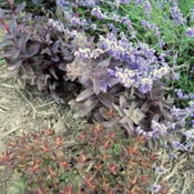Location: Sun Pittsford NYDate: 2011-07-06Bottom center in July.Photo here is Purple Sedum and La