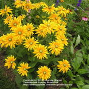 Location: Cincinnati, OhDate: June 2009Green-eyed rudbeckia hirta