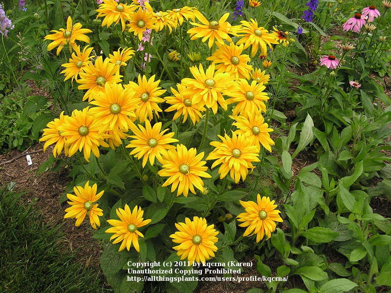 Photo of Black Eyed Susans (Rudbeckia) uploaded by kqcrna