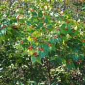 Location: Natural Area in Northeastern IndianaDate: 2011-10-07Understory shrub.