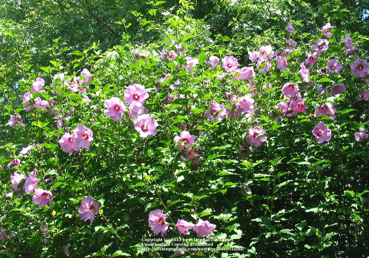 Roses Of Sharon: Plant Care and Collection of Varieties - Garden.org