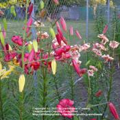 Location: Willamette Valley OregonDate: 2011-10-11 Colorful group of downfacing lilies. L-R: George Slate, Morden Bu