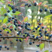 Location: Northeastern, TexasDate: 2011-10-10The berries are edible and food for wildlife through fall and win