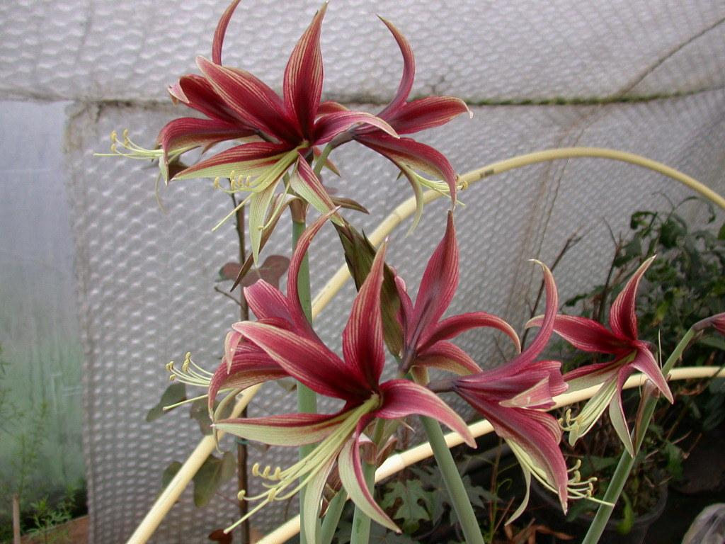 Photo of Amaryllis (Hippeastrum cybister 'Lima') uploaded by Ferenc