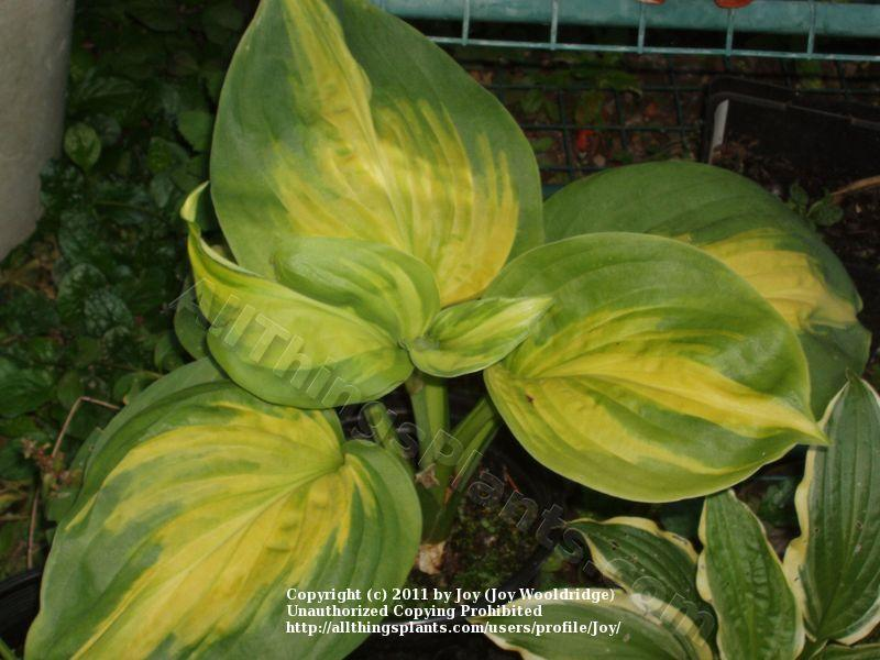 Photo of Hosta 'Cathedral Windows' uploaded by Joy