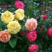 Shrub roses in front yard.