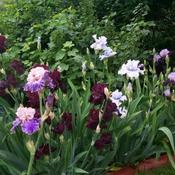 Bearded iris section.