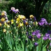 A row of bearded iris in bloom.