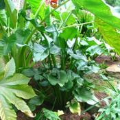 Location: z5 MA, my gardenDate: 2011-10-10Mostly shade now that the Castor Bean and Colocasia have taken ov