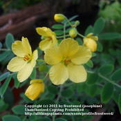 Location: Fielder House Butterfly garden Arlington, Texas.Date: Fall 2011This plant is also called Velvet leaf Senna, because th