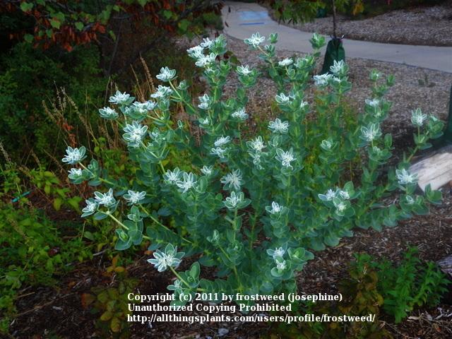 Photo of Snow on the Mountain (Euphorbia marginata) uploaded by frostweed
