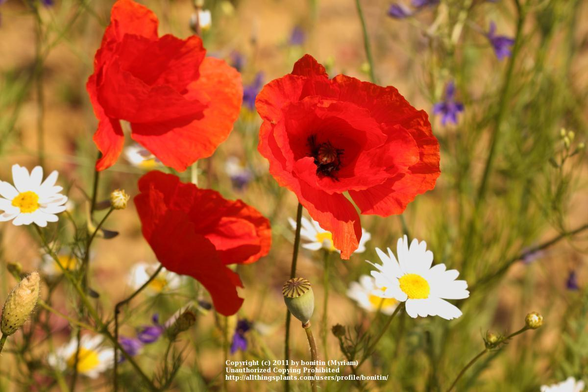 Poppies Plant Care And Collection Of Varieties Garden
