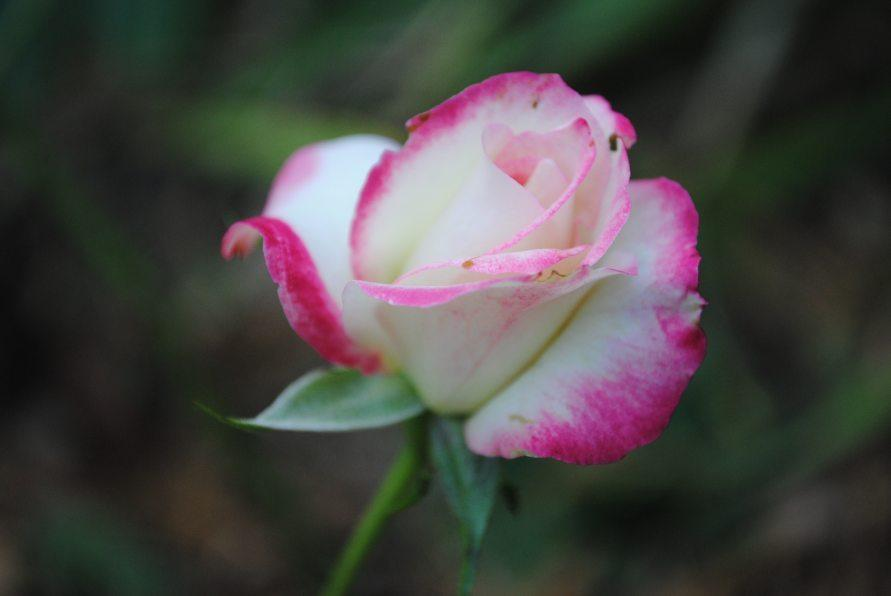Photo of Rose (Rosa 'Cherry Parfait') uploaded by chelle
