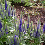 Location: Sun Pittsford NYDate: 2009-06-03These compact spires of intense blue flowers are in my