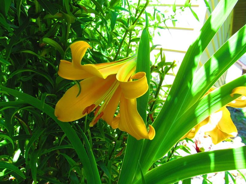 Photo of Lily (Lilium 'African Queen') uploaded by jmorth