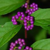 Location: MaineDate: 2011-09-30The berries are like purple iridescent pearls.
