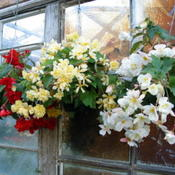 Date: 2007-09-26Tuberous begonias at a nursery