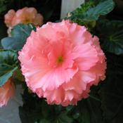 Date: 2007-09-26Tuberous begonia at a nursery