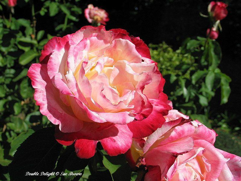 Photo of Rose (Rosa 'Double Delight') uploaded by Calif_Sue