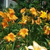 Location: In my garden Rocket City and Spellbinder daylilies blooming.