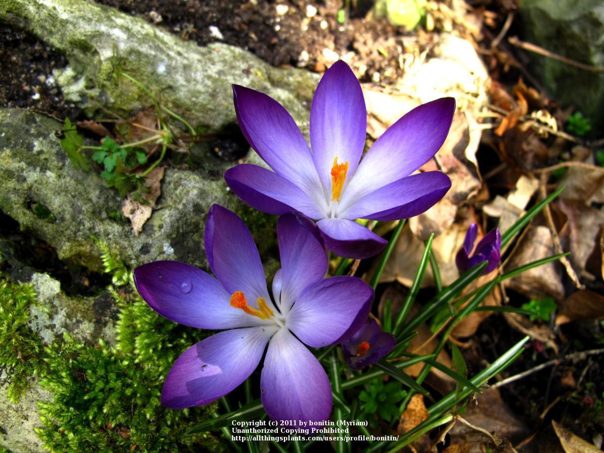 Photo of Snow Crocus (Crocus tommasinianus 'Ruby Giant') uploaded by bonitin