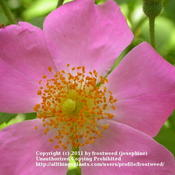 Location: Molly Hollar Wildscape Arlinton, Texas.Date: Spring 2011This lovely wild rose climbing rose has no thorns.