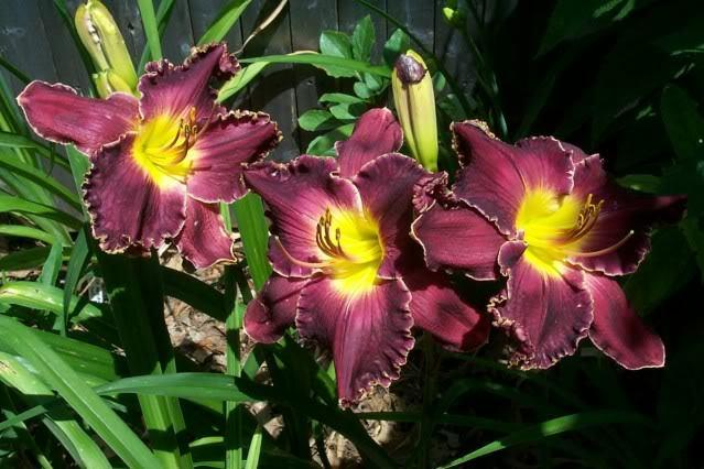 Photo of Daylily (Hemerocallis 'Born to Reign') uploaded by Newyorkrita