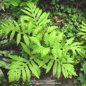 Location: my garden, Gent, BelgiumDate: 2009-04-26Young fronds are a beautiful light spring green..