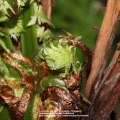 Location: my garden, Gent, BelgiumDate: 2011-04-01heart of the fern with frond buds ready to unfold