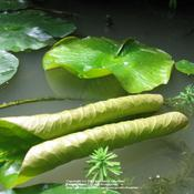 Location: My pond, Gent, BelgiumDate: 2007-06-21unfolding..