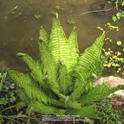 Location: my garden, Gent, BelgiumDate: 2008-04-16Great plant for water borders! Growing by my pond..