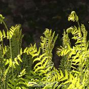 Location: my garden, Gent, BelgiumDate: 2011-05-03Unfolding fronds backlit by morning sun..