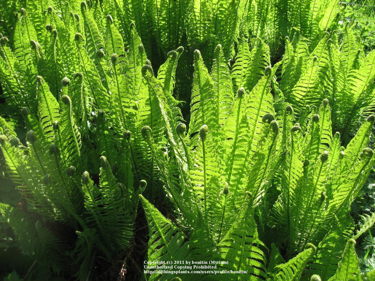 Photo of Ostrich Fern (Matteuccia struthiopteris) uploaded by bonitin