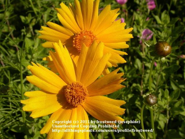 Photo of Tickseed (Coreopsis lanceolata) uploaded by frostweed