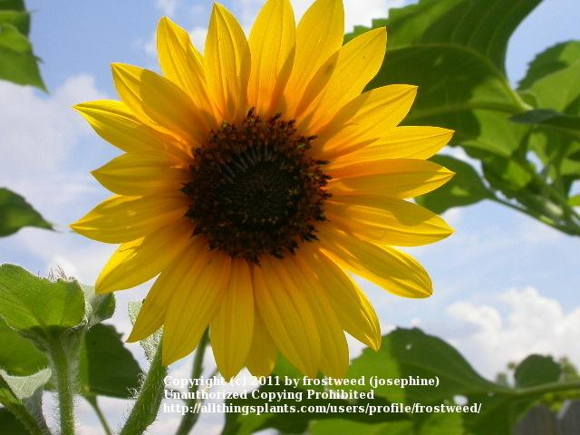 Photo of Sunflowers (Helianthus annuus) uploaded by frostweed