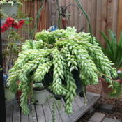Location: In our garden - Tracy, CA zone 7Date: Apr 27, 2010Burro's tail in a hanging container