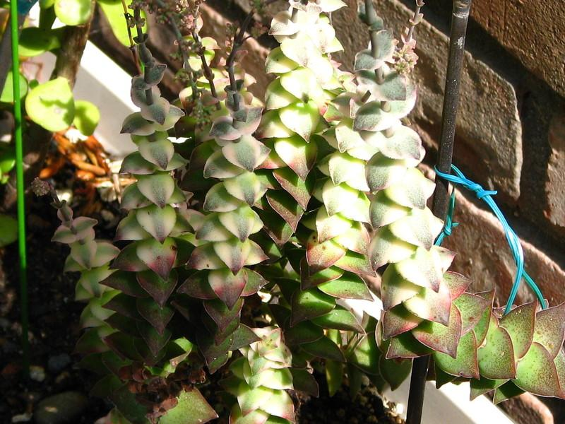 Photo of String of Buttons (Crassula perforata) uploaded by tarev