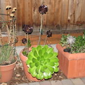 Location: At our garden - Tracy, CADate: 2011-10-13Tall Aeonium arboreum