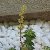 Location: At our home in Tracy, CADate: 2010-06-04Cute yellow flowers of Crassula perforata